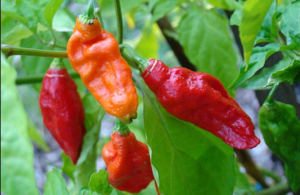 Что произойдёт, если съесть самый острый перец в мире