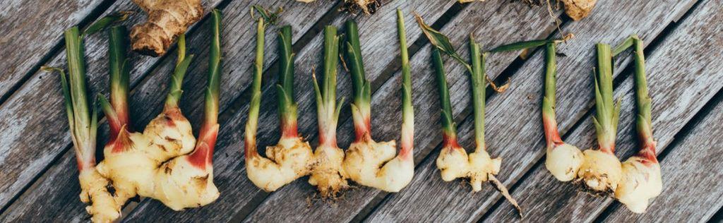 Имбирь – выращивание в домашних условиях