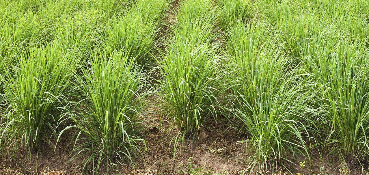 Лимонная трава полезные свойства и противопоказания