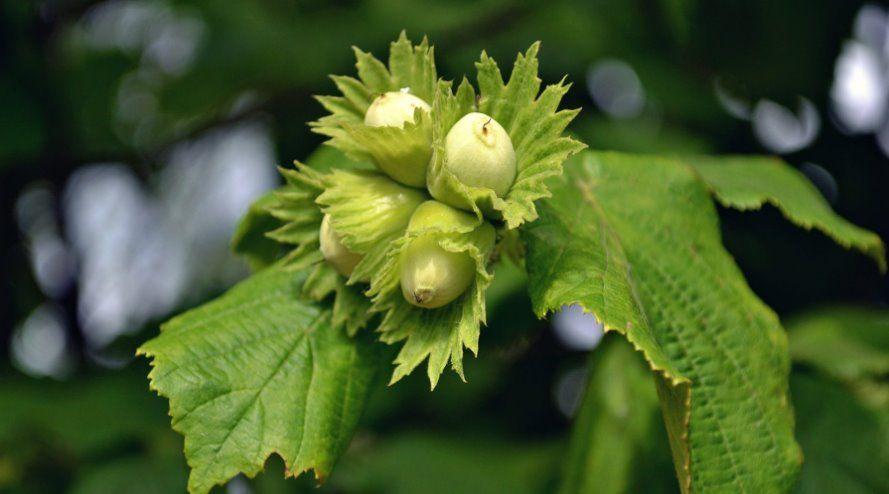 Какие различия имеют лесные орехи и фундук: описание лещины и фундука, в чём их разница и характерные свойства