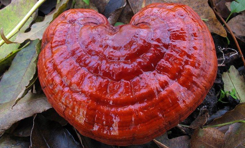 Как выглядит гриб рейши