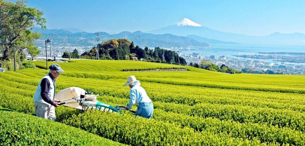 Как заваривать японский чай матча